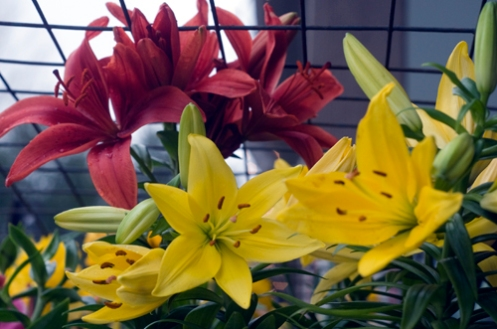 goldenliliesweb.jpg