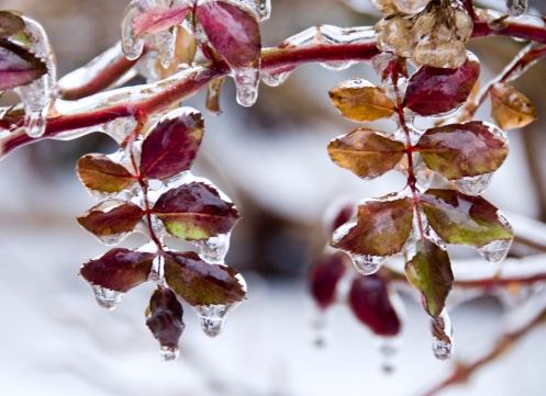 icy_leaves