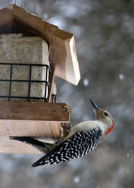 red_bellied_woodpecker