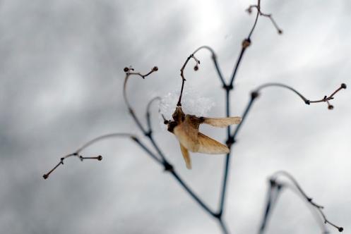 winter_maple