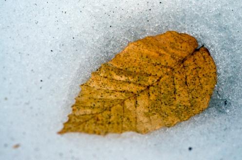 snowy_leaf