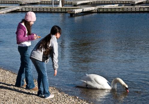 swan_feeding