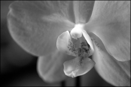 orchid_in_bw