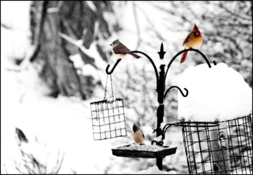 snow_birds