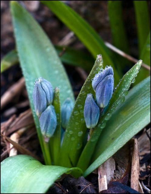 spring_buds