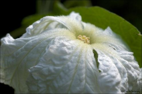 gourd_blossom